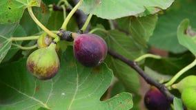 Früchte des Feigenbaums auf Niederlassung stock video footage