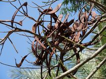 Früchte des immergrünen Johannisbrotbaums Lizenzfreie Stockfotografie