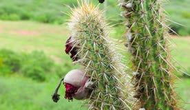 Früchte des Kaktus u. des x28; xique-xique& x29; typisch von allem nordöstlichen s stockfoto
