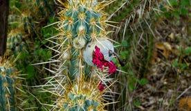 Früchte des Kaktus u. des x28; xique-xique& x29; typisch von allem nordöstlichen s lizenzfreies stockfoto