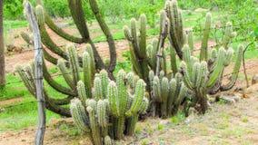 Früchte des Kaktus u. des x28; xique-xique& x29; typisch von allem nordöstlichen s lizenzfreie stockfotos