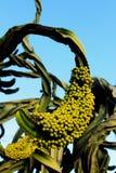Früchte des Kandelaberbaums, Euphorbiengummi ingens stockbild