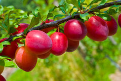 Früchte des Pflaumebaums Lizenzfreie Stockbilder