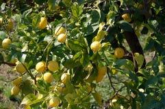 Früchte, die von den Zitronenbaumniederlassungen hängen Stockfotografie