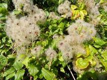 Früchte einer Kletterpflanze (Graubart-Klematis vitalba) Stockbild