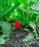 Früchte einer roten Erdbeere Stockbilder