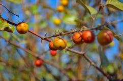Früchte im Baum Stockfoto