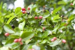 Früchte Karonda oder Carunda Stockbilder
