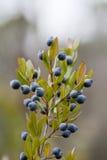 Früchte von Myrtus Stockbild