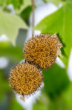 Früchte von Norwegen-Ahorn Stockbilder