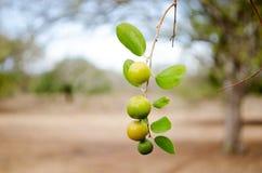 Früchte von Ziziphus Mauretanien lizenzfreie stockfotos