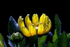 Frühaufstehende Sonnenblumen Stockbild
