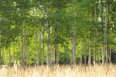 Frühe Fall Aspen-Bäume Stockfotos