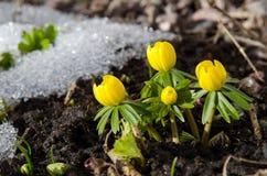 Frühe Gartenblumen Stockfotos