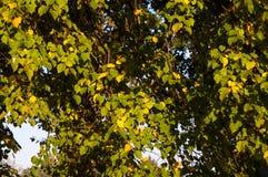 Frühe Herbstblätter lizenzfreies stockbild