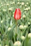 Frühe rote Tulpe auf einem Gebiet Stockbild