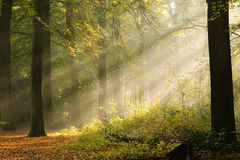 Frühe Sunbeams im Holz Lizenzfreies Stockbild