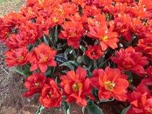 Frühe Tulpe Abba des roten Doppelten Stockfotos