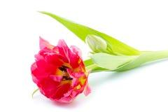 Frühe Tulpe des einzelnen Doppelten Lizenzfreie Stockfotos