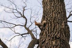 Früher Frühling Das flaumige Eichhörnchen mit hellgrauem Pelz und roten den Ohren, sitzend auf einer Niederlassung eine Nuss esse Lizenzfreie Stockfotos