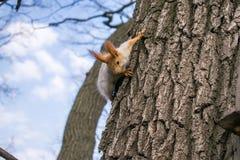 Früher Frühling Ein Eichhörnchen kriecht auf einen Baum ohne Blätter, mit hellgrauem Pelz und den roten Ohren Stockbild