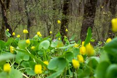 Früher Frühling Färben Sie hell erste Blumen und köstliches grünes Gras gelb stockfoto