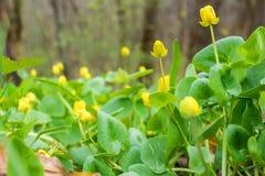 Früher Frühling Färben Sie hell erste Blumen und köstliches grünes Gras gelb stockbild
