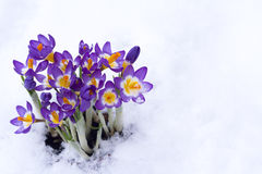 Früher Frühling purpurroter Krokus im Schnee stockfotos