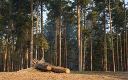 Früher Herbstmorgen im Wald stockfoto
