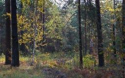 Früher Herbstmorgen im Wald stockfotos