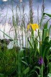 Früher Morgen auf Fluss mit Nebel und schöner gelber Iris, andere Sumpfanlagen im natürlichen Vordergrund Konzept von Jahreszeite Stockfotos