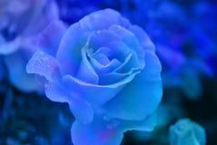 Früher Morgen Blume des Scharlachrots Rose bedeckt mit Tau stockfoto