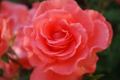 Früher Morgen Blume des Scharlachrots Rose bedeckt mit Tau stockfotografie