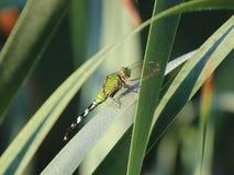 Früher Morgen der Libelle stockfoto