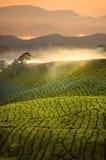 Früher Morgen des Tee-Plantagen-Sonnenaufgangs mit Nebel bei Cameron Highlan Lizenzfreie Stockbilder