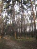 Früher Morgen in einem Kieferwald Lizenzfreies Stockfoto