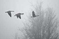 Früher Morgen-Flug von Kanada-Gänsen, die über nebeligen Sumpf fliegen Lizenzfreie Stockbilder