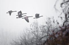 Früher Morgen-Flug von Kanada-Gänsen, die über nebeligen Sumpf fliegen Lizenzfreies Stockfoto