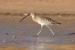 Früher Morgen großer Brachvogel, der am Sharm el-Sheikh-Strand von Rotem Meer geht Lizenzfreies Stockbild