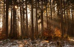 Früher Morgen im Wald Stockfoto