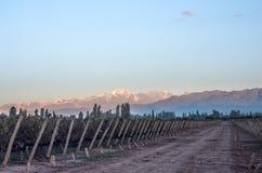 Früher Morgen im Weinberg, Maipu, Mendoza Stockfoto