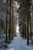 Früher Morgen im Winterkiefernwald stockbild