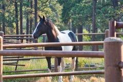Früher Morgen-Schwarzweiss-Pferd lizenzfreies stockfoto
