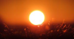 Früher Sonnenaufgang an einem Sommertag, roter Himmel und weiße Sonne, Detail über das Gras, das vor der Sonne steht Lizenzfreie Stockfotos