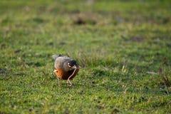 Früher Vogel fängt die Endlosschraube ab Lizenzfreie Stockfotos