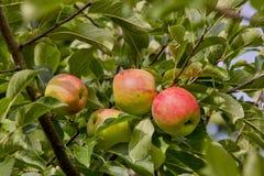 Frühes Apple Piros, Malus Piros, Dessertapfel, Bayern, Deutschland, Europa stockfotografie