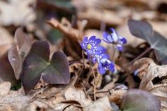 Frühes blaues Zeichen der Frühlingszeit Stockfotos