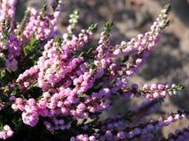 Frühherbst geschossen von den rosa Heideblumen Stockbild