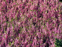 Frühherbst geschossen von den rosa Heideblumen Lizenzfreies Stockfoto