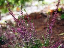 Frühherbst geschossen von den rosa Heideblumen Stockbilder
